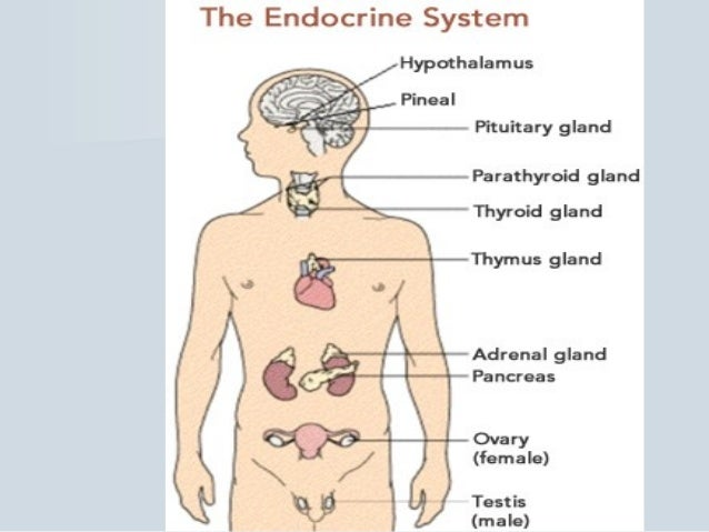 Endocrine pharmacology in brief endocrine systemendocrine system 5 ccuart Image collections