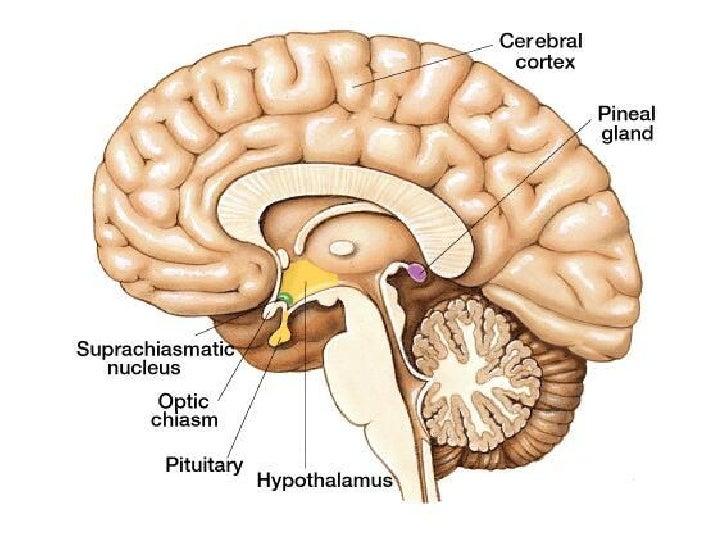 Endocrine Anatomy29042010 Pdf
