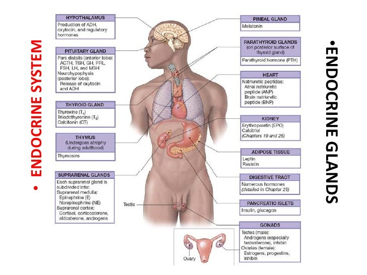Endocrine Anatomy29042010 Pdf
