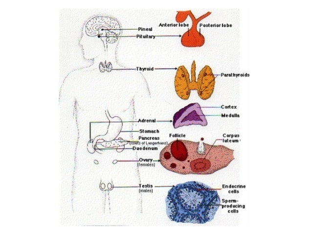 "Endocrine System Pituitary Gland - The main endocrine gland. - Called the ""master"" gland. - Acts as the control center for..."