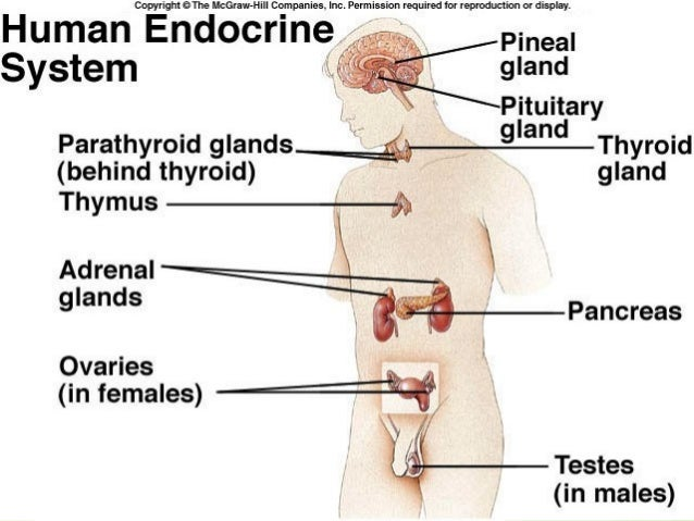 investigation of endocrine glands, Cephalic Vein