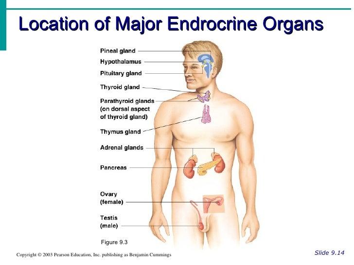 endocrine organs - photo #7