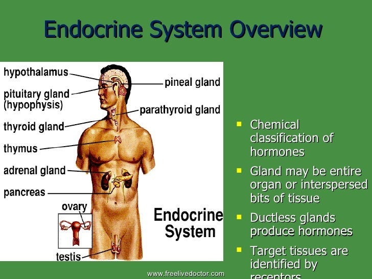 Endocrine System Overview <ul><li>Chemical classification of hormones </li></ul><ul><li>Gland may be entire organ or inter...