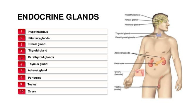 Endocrine System and Endocrine Glands