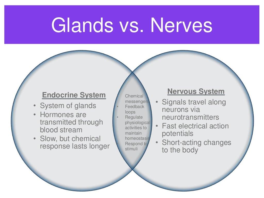 Endocrine system endocrine v nervous system ccuart Image collections