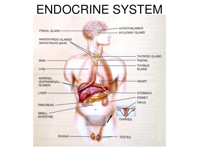 endocrine system 1, Sphenoid