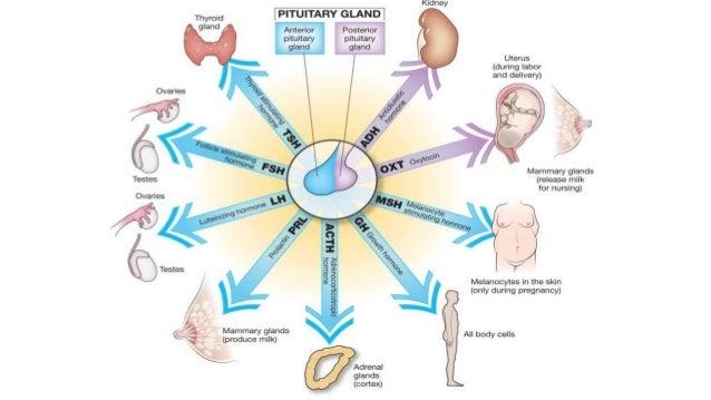 Endocrine System Anatomy