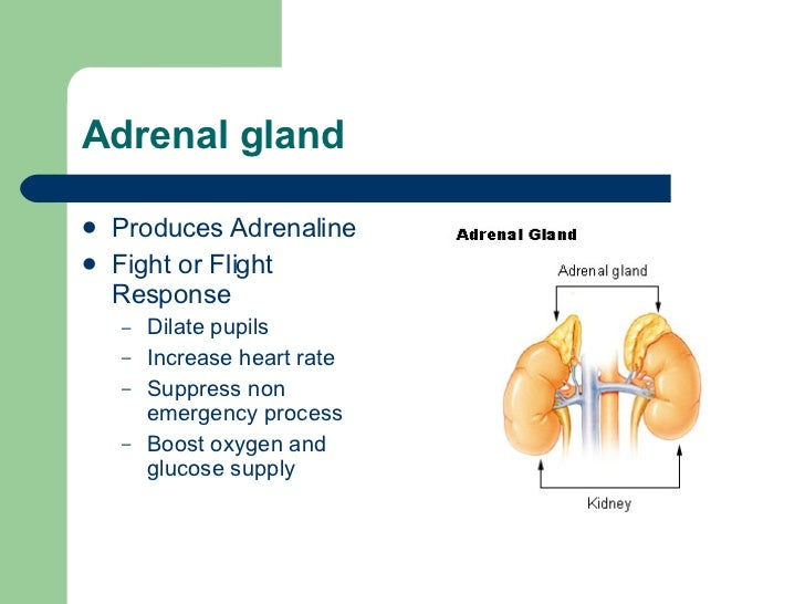 what gland makes testosterone