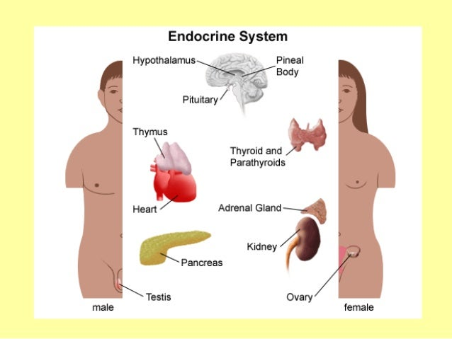 endocrine system notes bryant 7th grade science