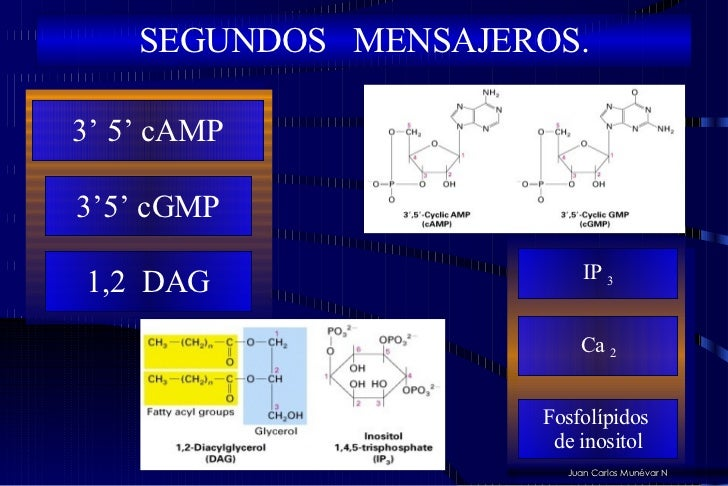 SEGUNDOS  MENSAJEROS. Juan Carlos Munévar N 3'5' cGMP 1,2  DAG 3' 5' cAMP IP  3 Ca  2 Fosfolípidos  de inositol