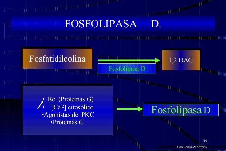 FOSFOLIPASA  D. Fosfatidilcolina 1,2 DAG Fosfolipasa D <ul><li>Rc  (Proteínas G) </li></ul><ul><li> Ca  2   citosólico <...
