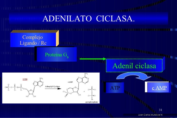 ADENILATO  CICLASA. Juan Carlos Munévar N Complejo  Ligando / Rc Proteína G s Adenil ciclasa ATP c AMP