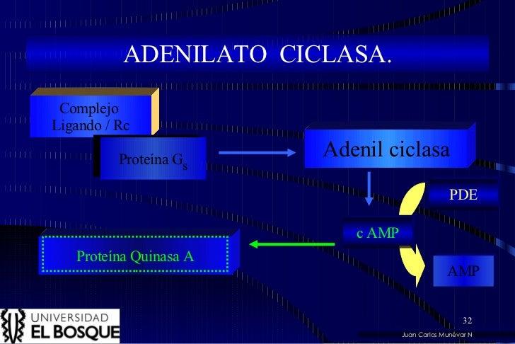 Juan Carlos Munévar N ADENILATO  CICLASA. Complejo  Ligando / Rc Proteína G s Adenil ciclasa c AMP Proteína Quinasa A PDE ...