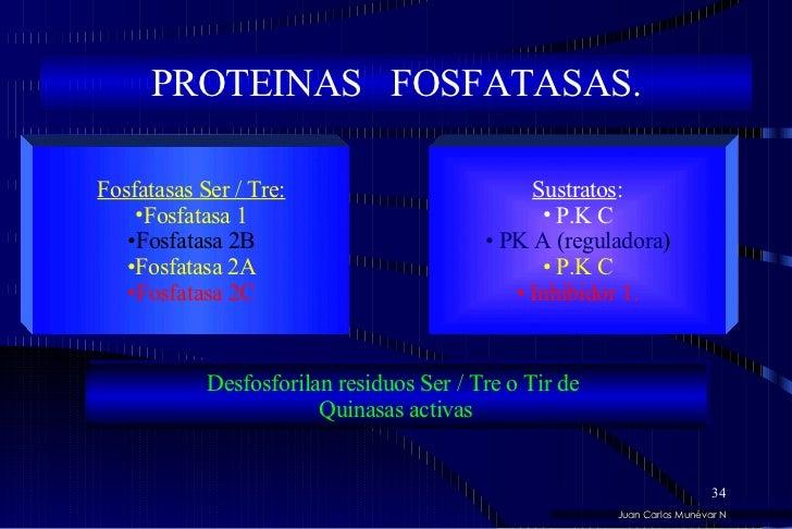 PROTEINAS  FOSFATASAS. <ul><li>Fosfatasas Ser / Tre: </li></ul><ul><li>Fosfatasa 1 </li></ul><ul><li>Fosfatasa 2B </li></u...