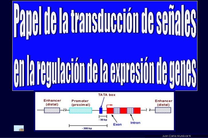 Juan Carlos Munévar N Papel de la transducción de señales en la regulación de la expresión de genes