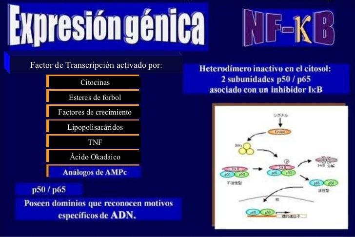 Factor de Transcripción activado por: Citocinas Factores de crecimiento Esteres de forbol Lipopolisacáridos TNF Ácido Okad...