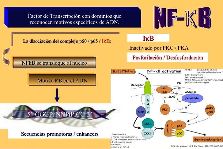 Factor de Transcripción con dominios que reconocen motivos específicos de  ADN. NFkB se transloque al núcleo Motivo   B e...