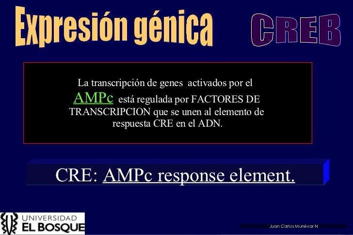 La transcripción de genes  activados por el  AMPc   está regulada por FACTORES DE  TRANSCRIPCION que se unen al elemento d...