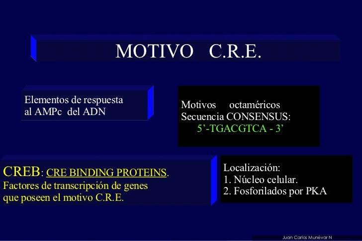 MOTIVO  C.R.E. Motivos  octaméricos Secuencia CONSENSUS:  5'-TGACGTCA - 3' Elementos de respuesta al AMPc  del ADN CREB : ...