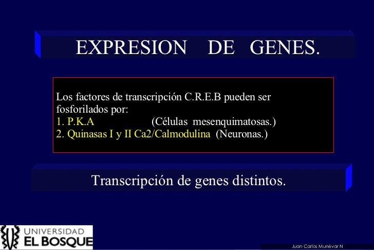 EXPRESION  DE  GENES. Los factores de transcripción C.R.E.B pueden ser  fosforilados por: 1. P.K.A  (Células  mesenquimato...