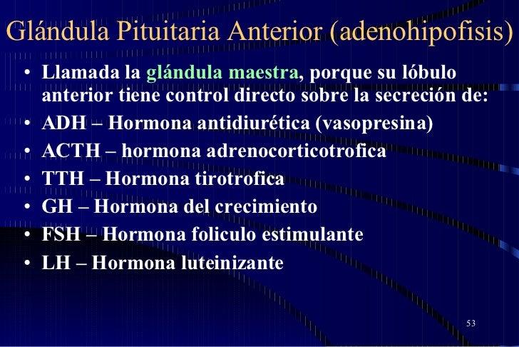 Glándula Pituitaria Anterior (adenohipofisis) <ul><li>Llamada la  glándula maestra , porque su lóbulo anterior tiene contr...