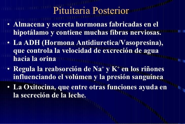 Pituitaria Posterior <ul><li>Almacena y secreta hormonas fabricadas en el hipotálamo y contiene muchas fibras nerviosas.  ...