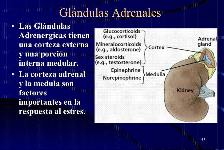 Glándulas Adrenales <ul><li>Las Glándulas Adrenergicas tienen una corteza externa y una porción interna medular.  </li></u...