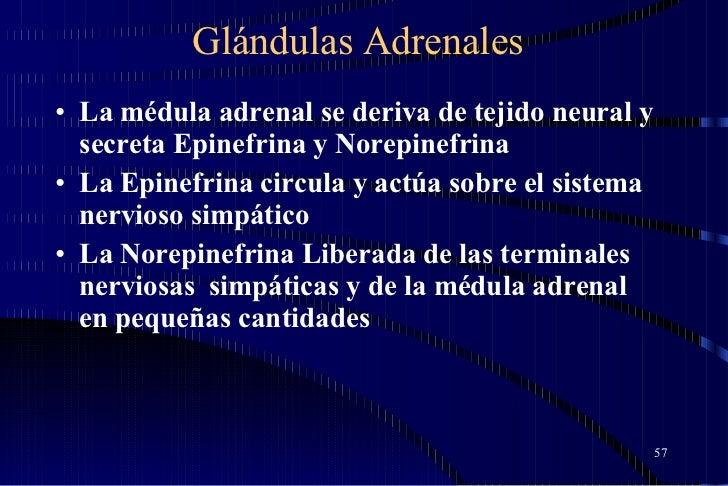 Glándulas Adrenales <ul><li>La médula adrenal se deriva de tejido neural y secreta Epinefrina y Norepinefrina </li></ul><u...