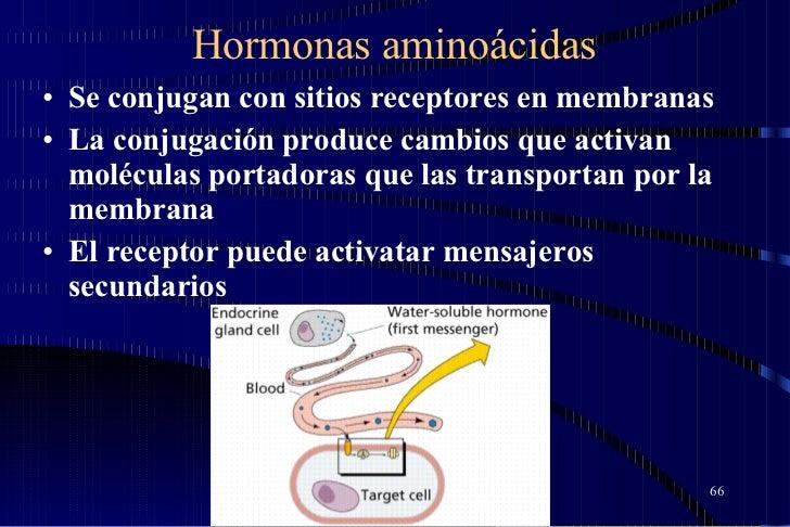 Hormonas aminoácidas <ul><li>Se conjugan con sitios receptores en membranas  </li></ul><ul><li>La conjugación produce camb...