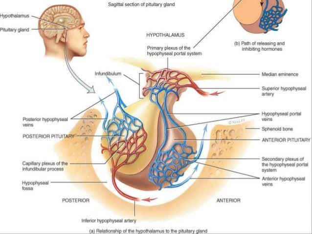 Endocrinology 49062714