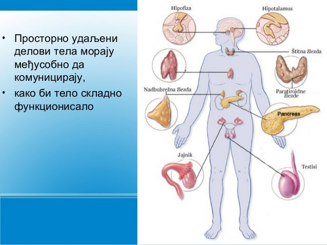 Endokrini sistem  Slide 2