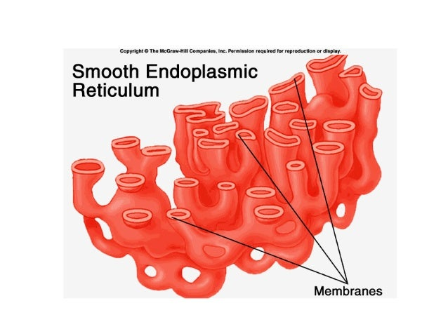 function of smooth er