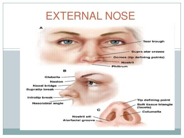 endoscopic anatomy of nose and pns