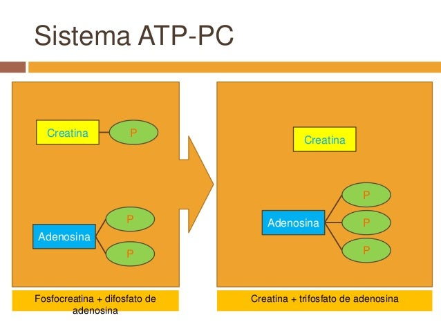 atp pc resynthesis Factors affecting the rate of phosphocreatine resynthesis following intense three energy systems contribute to the resynthesis of atp via tullson pc, terjung.