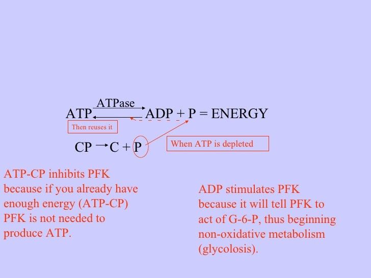 ATP  ADP + P = ENERGY ATPase CP  C + P When ATP is depleted Then reuses it ADP stimulates PFK because it will tell PFK to ...