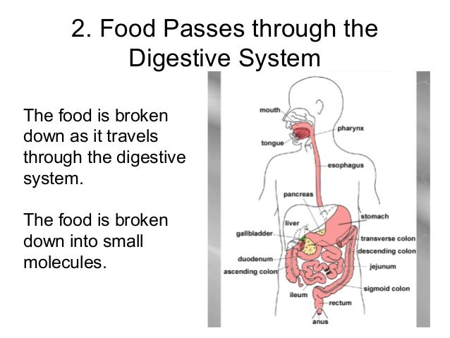 an analysis of the way food travels through our digestive system Thanks to mcgraw hill, you can watch and learn all about the process of digestion and what happens throughout your body.