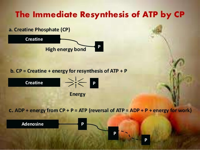 creatine phosphate breakdown of atp resynthesis Uses high energy phosphate groups including creatine the amount of energy generated by the breakdown of atp atp resynthesis adp a free phosphate.