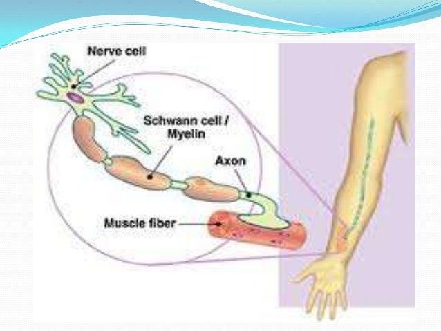  Se buscan signos de debilidad muscular en los brazos, piernas, manos y pies, una disminución de la masa muscular, reflej...