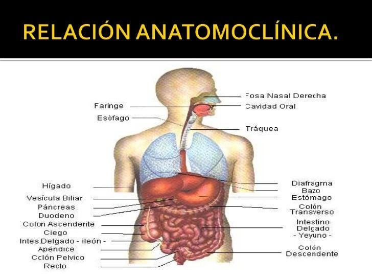Excepcional Bazo Anatomía Macroscópica Colección de Imágenes ...