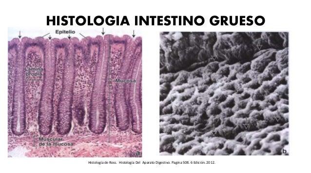 HISTOLOGIA INTESTINO GRUESO Histología de Ross. Histología Del Aparato Digestivo. Pagina 508. 6 Edición. 2012.