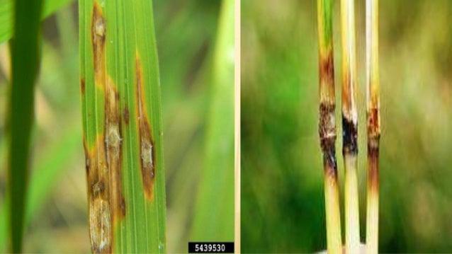 Enfermedades del cultivo de arroz