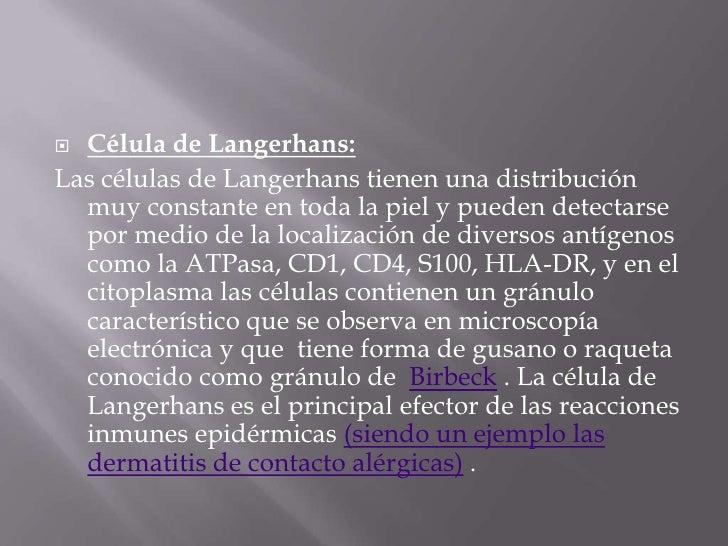 Célula de Langerhans:<br />Las células de Langerhans tienen una distribución muy constante en toda la piel y pueden detect...
