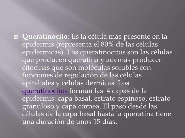 Queratinocito: Es la célula más presente en la epidermis (representa el 80% de las células epidérmicas). Los queratinocito...