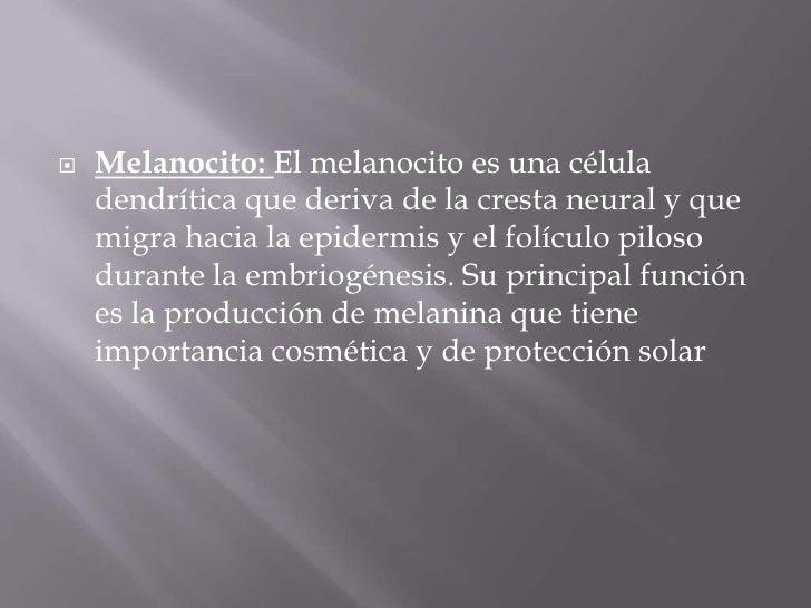 Melanocito: El melanocito es una célula dendrítica que deriva de la cresta neural y que migra hacia la epidermis y el folí...