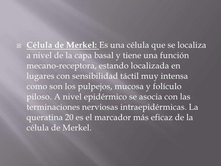 Célula de Merkel:Es una célula que se localiza a nivel de la capa basal y tiene una función mecano-receptora, estando loca...