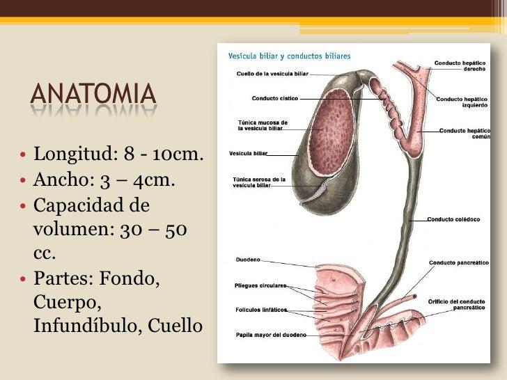 Asombroso Anatomía De Los Conductos Biliares Y La Vesícula Biliar ...