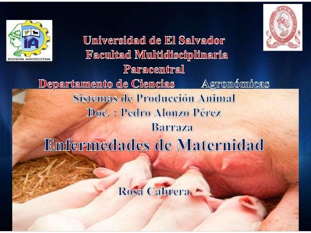 En el presente trabajo daremos a conocer la enfermedades de maternidad en las cerdas ya que estas son de gran importancia ...