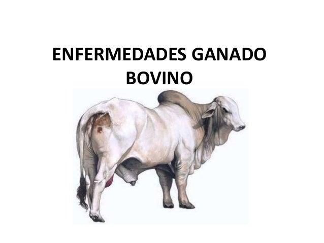ENFERMEDADES GANADO      BOVINO