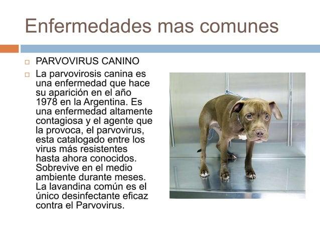Enfermedades mas comunes    PARVOVIRUS CANINO La parvovirosis canina es una enfermedad que hace su aparición en el año 1...