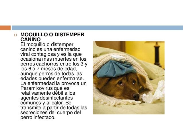   MOQUILLO O DISTEMPER CANINO El moquillo o distemper canino es una enfermedad viral contagiosa y es la que ocasiona mas ...